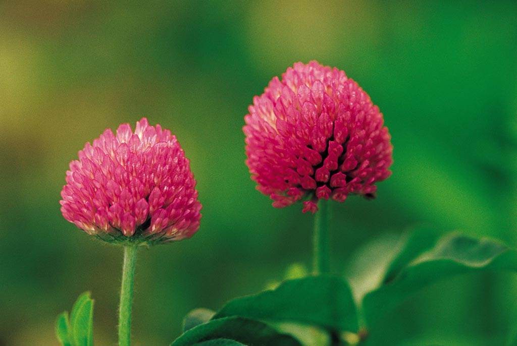 Red clover extract research