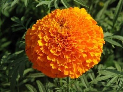 sunshine,health,Marigold,herbal extract,Tagetes erecta